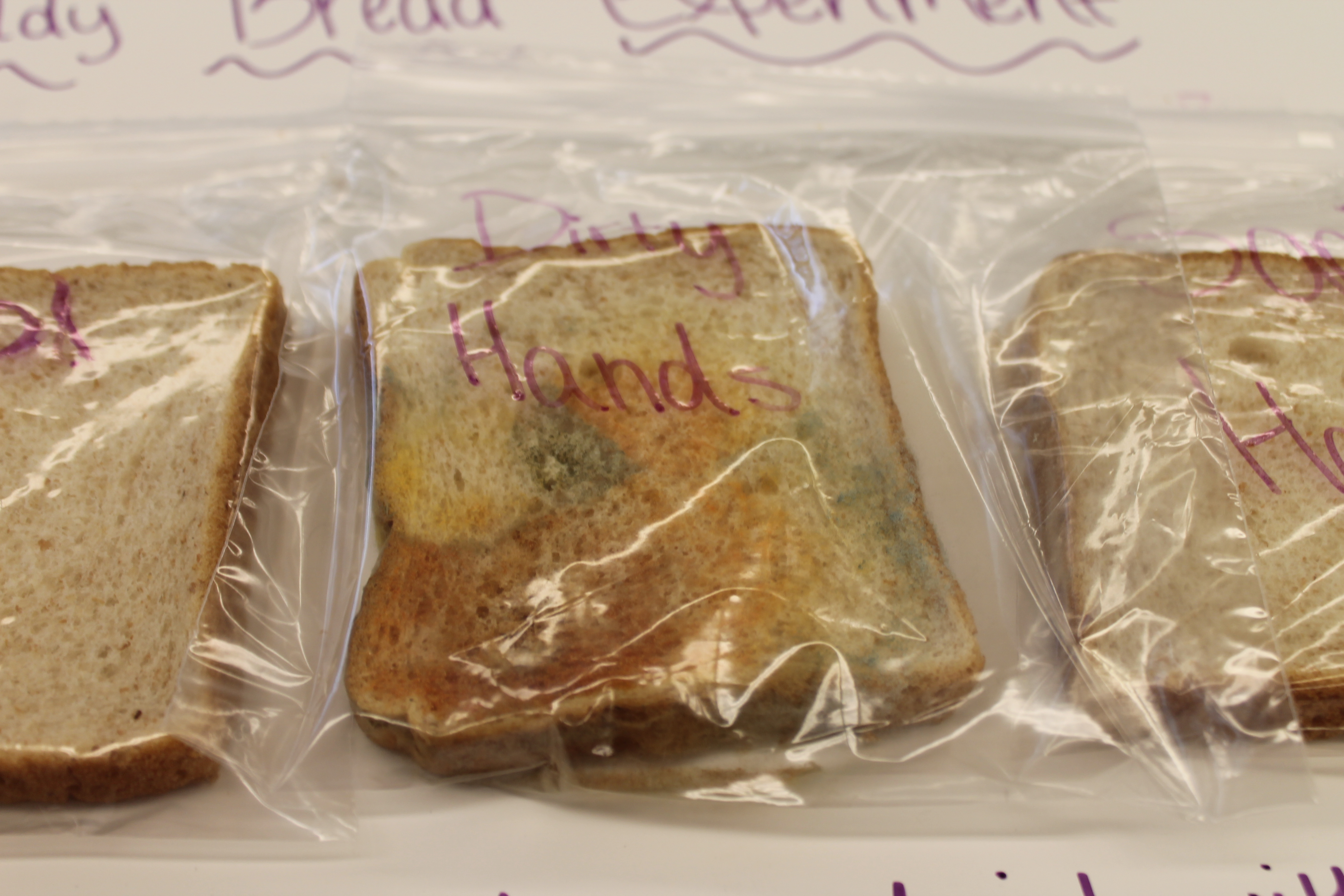 bread mold science project Because mold spores occur naturally, all one has to do to make a piece of bread turn moldy in theory is to simply wait for it to grow mold, though it is possible to use bottled mold spores to accelerate the molding process however, some breads made with artificial or natural preservatives may not.